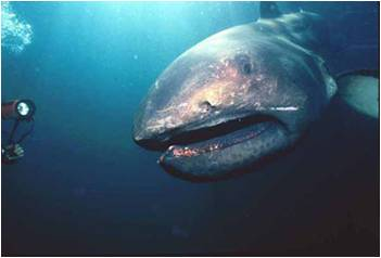 0332-megamouth-shark.jpg
